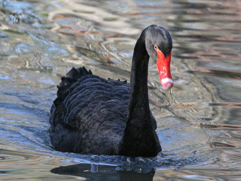 black swan animal - photo #2