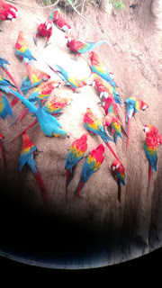 macaws @ Tombopato macaw claylick