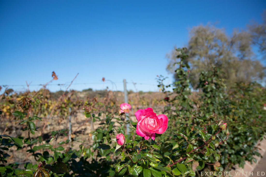 Torres Winery, Pacs del Penedès, Rose Flower