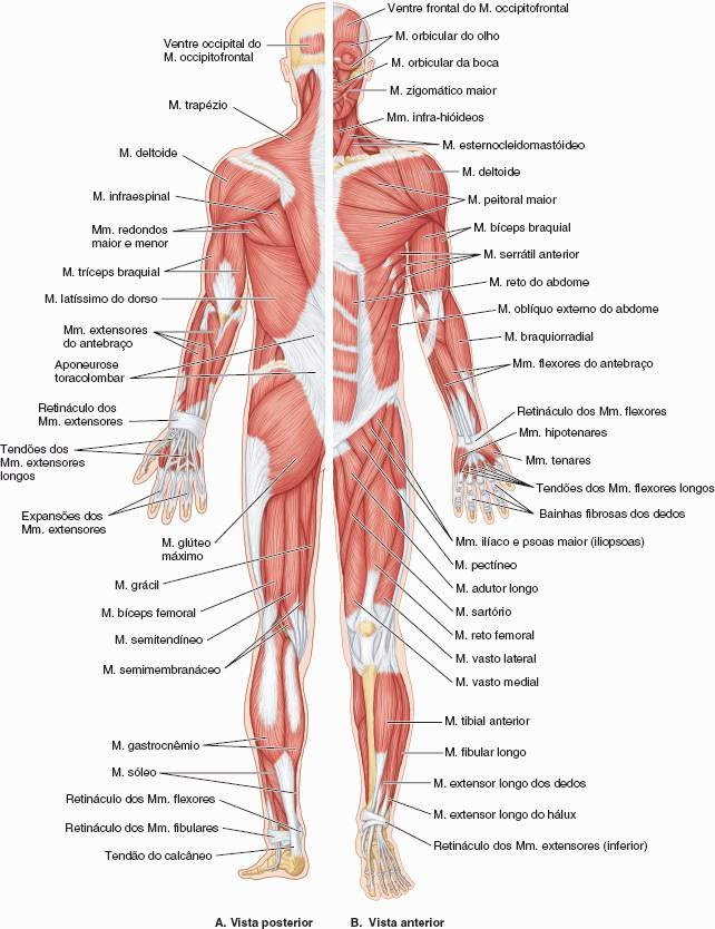 Excepcional Músculos Elaboración - Imágenes de Anatomía Humana ...