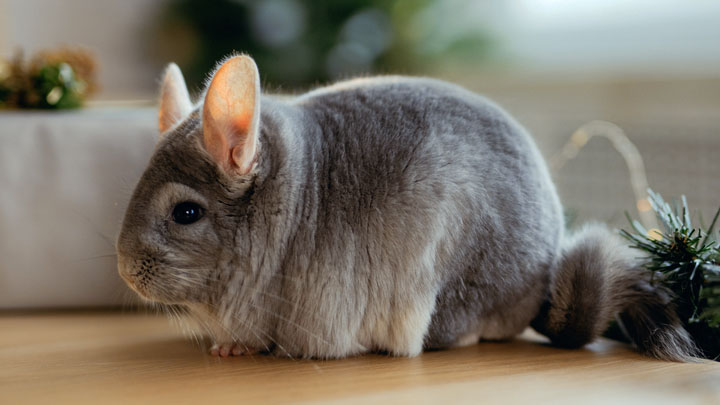 how to take care of a chinchilla as a pet
