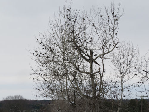 starlings in a tree