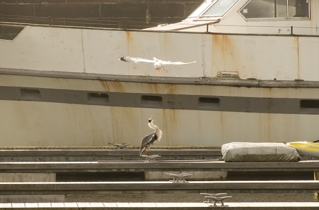 Photo of a seagull dive-bombing a heron on a pontoon