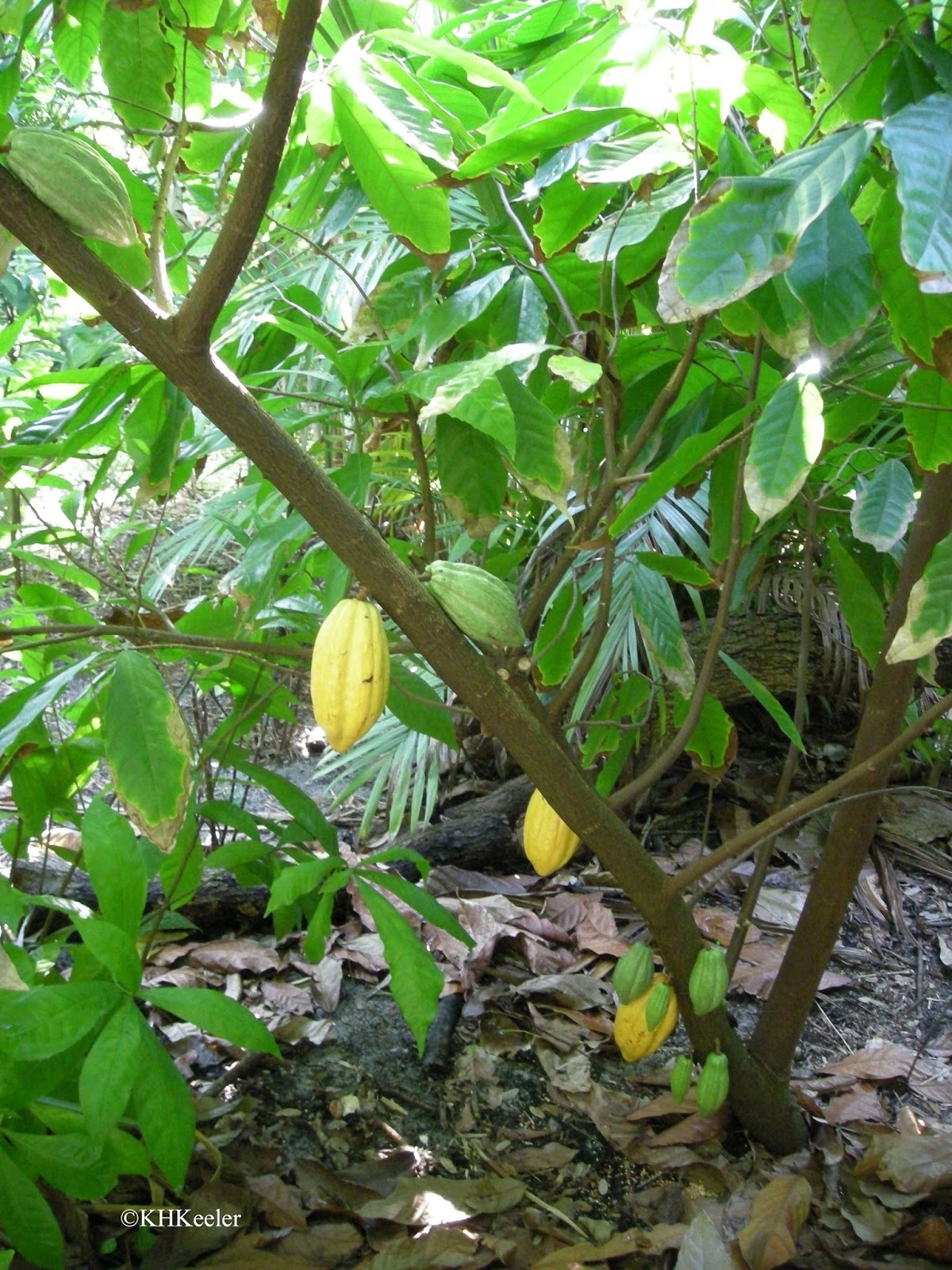 Which Food Plant Was Native To The New World