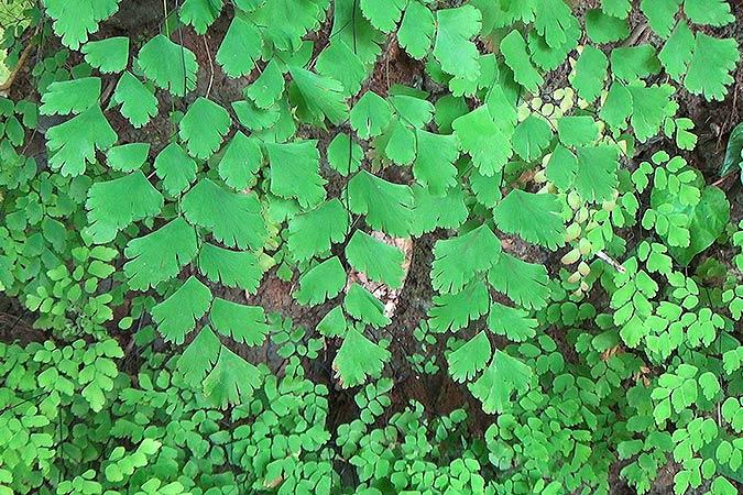 Dlium Fan maidenhair fern (Adiantum tenerum)