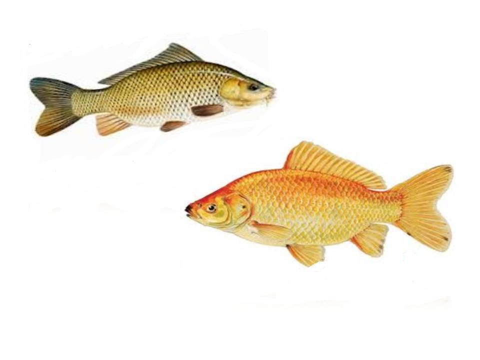 Belajarberbagi Bersamaberbagi Blogspot Com Resep Umpan Ikan Mas Murah Dan Jitu