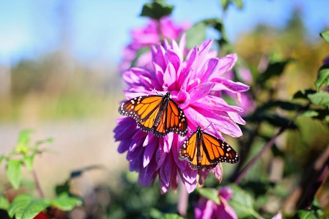 Listos Santuarios de la Mariposa Monarca en Michoacán