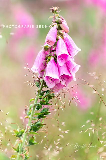 thimble, foxglove, Digitalis, photoart, Dorothe Domke, Sauerland, Fotoart, Digitalis purpurea
