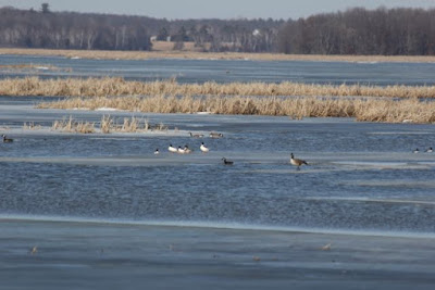 returning waterfowl as waters open