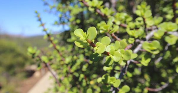Pohon Jade