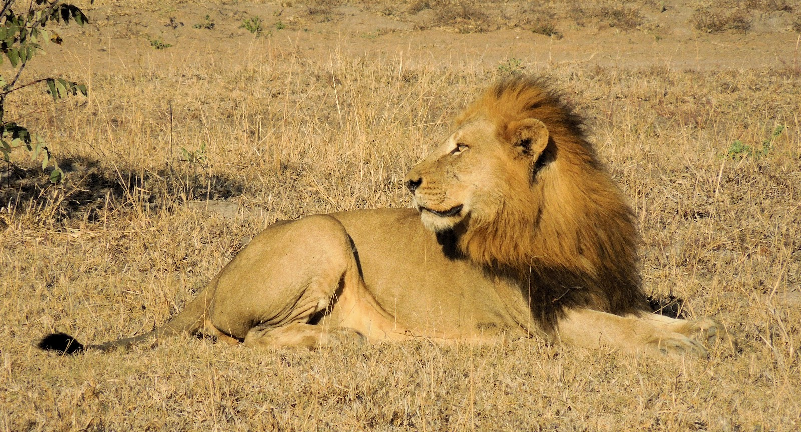 Male And Female Lion Images