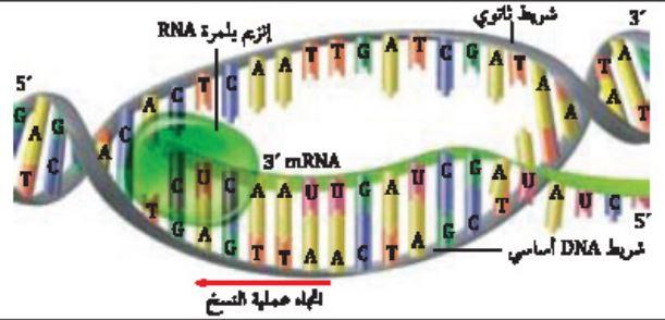 ملخص درس DNA ، و RNA ، والبروتين - الوراثة الجزيئية