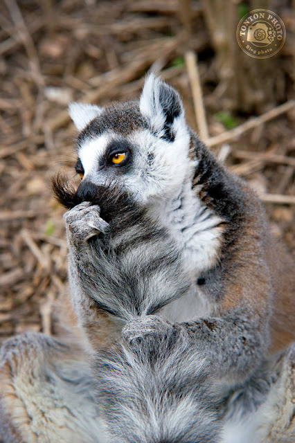 Maki Lemur Kata, zoo Champrepus © Clement Racineux / Tonton Photo