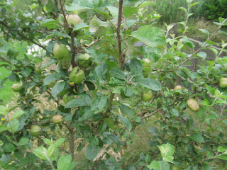 pruning fruit trees, how to, gardening, life on pig row, keswick codling