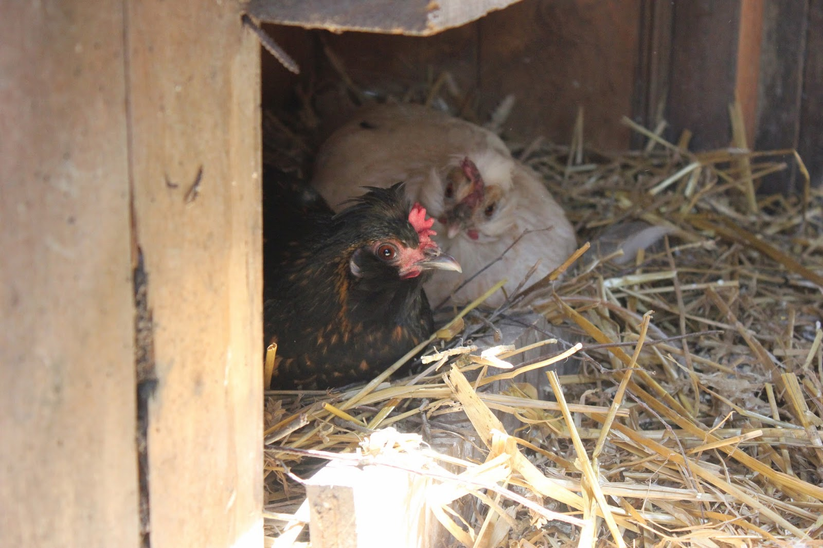 Hens laying in nestboxes