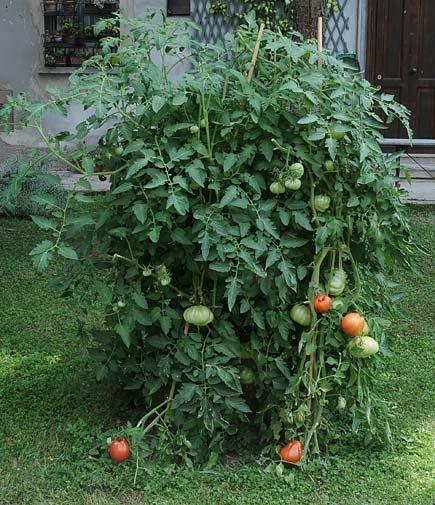 pomodori a milano