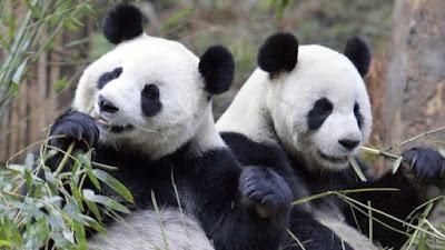 Contoh Descriptive Text Tentang Hewan panda