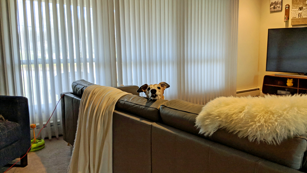 image of the view of our living room from my office area, in which Dudley the Greyhound can be seen peering over the back of the couch at me, with his chin resting on the back of the couch