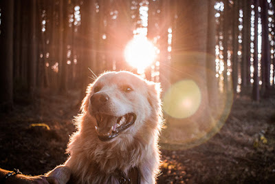 A Labrador is sitting in a forest with sunlight shining through the trees behind