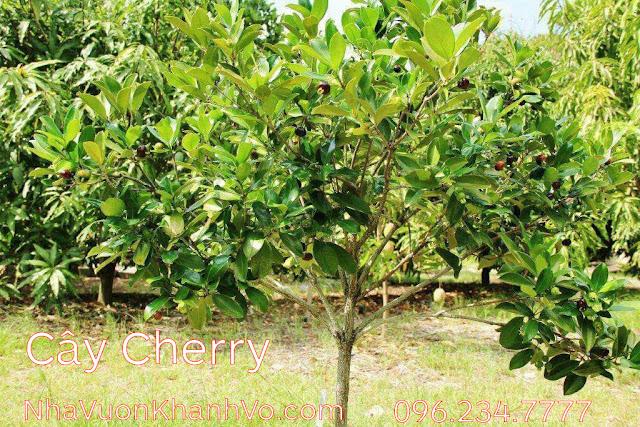 Sản phẩm cần bán: Bạn chưa biết: công dụng của cherry đối với sức khỏe Cay-cherry-khanh-vo-3