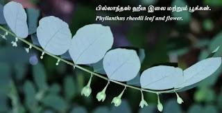 Phyllanthus rheedii leaf