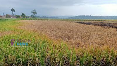 Diserang Wereng, 80% Lahan Pertanian Gagal Panen