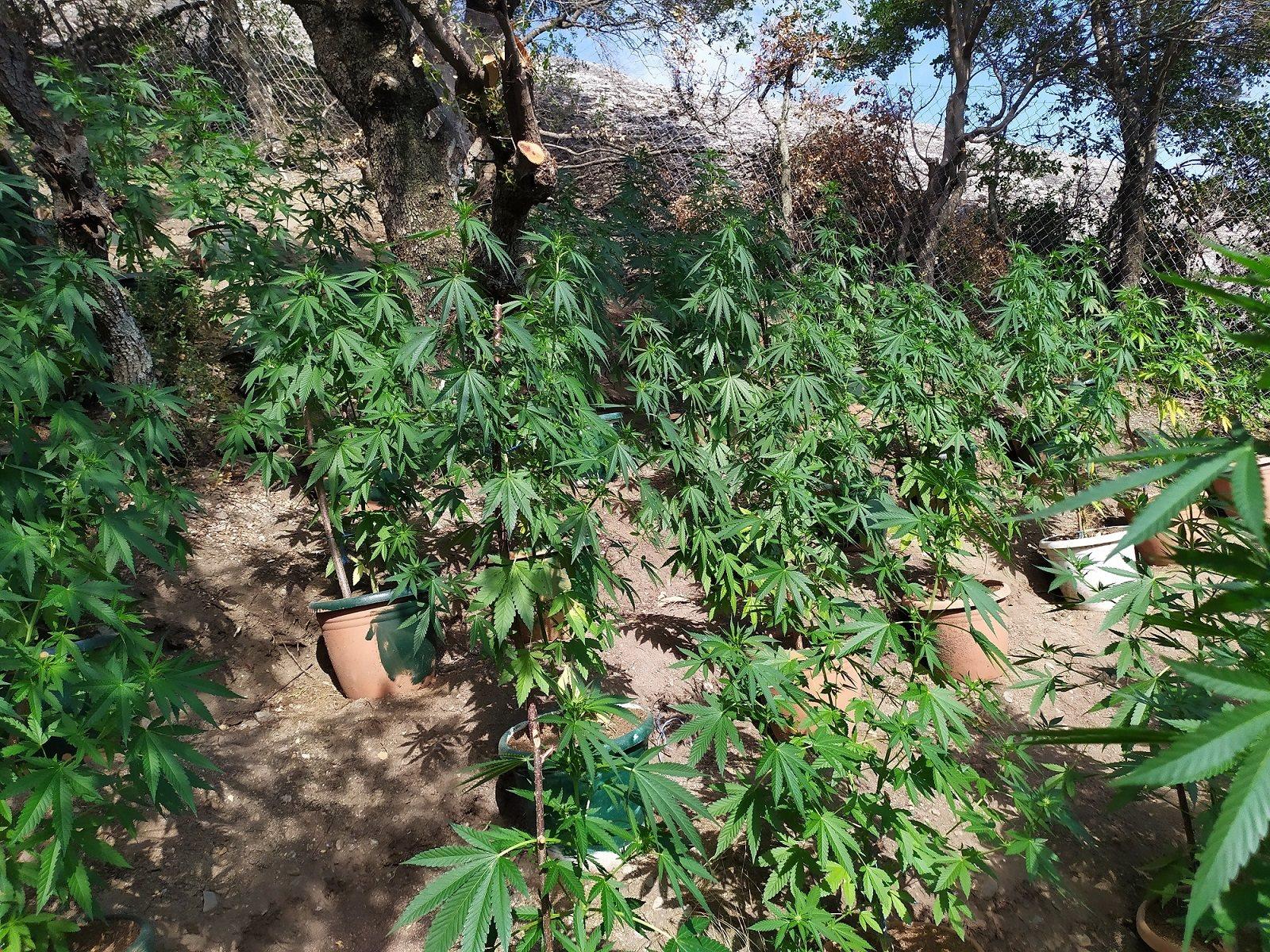 Εξαρθρώθηκε εγκληματική οργάνωση καλλιέργειας δενδρυλλίων κάνναβης στα Τρίκαλα