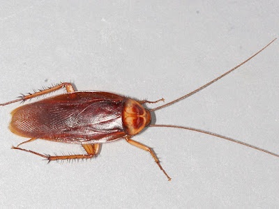 Palmetto bug vs Cockroach Pictures, Size, Identification