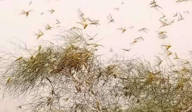 जोधपुर के ग्रामीण क्षेत्रों में टिड्डी दल ने मचाई तबाही,   कपास की फसल को कर गईं चट