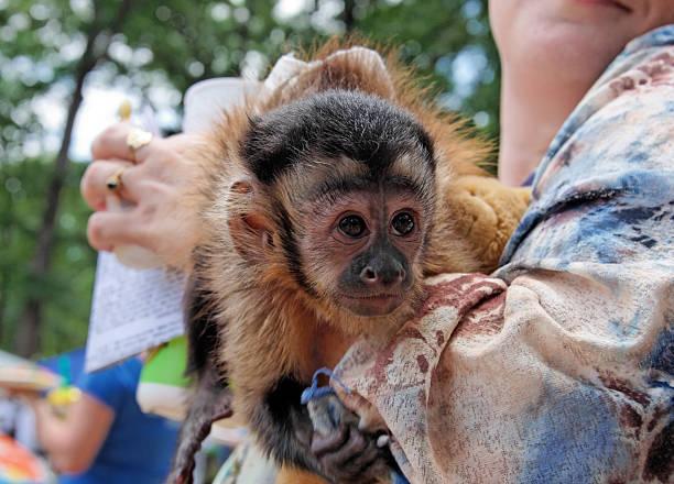 Capuchin Monkeys – Keeping Them as Pets