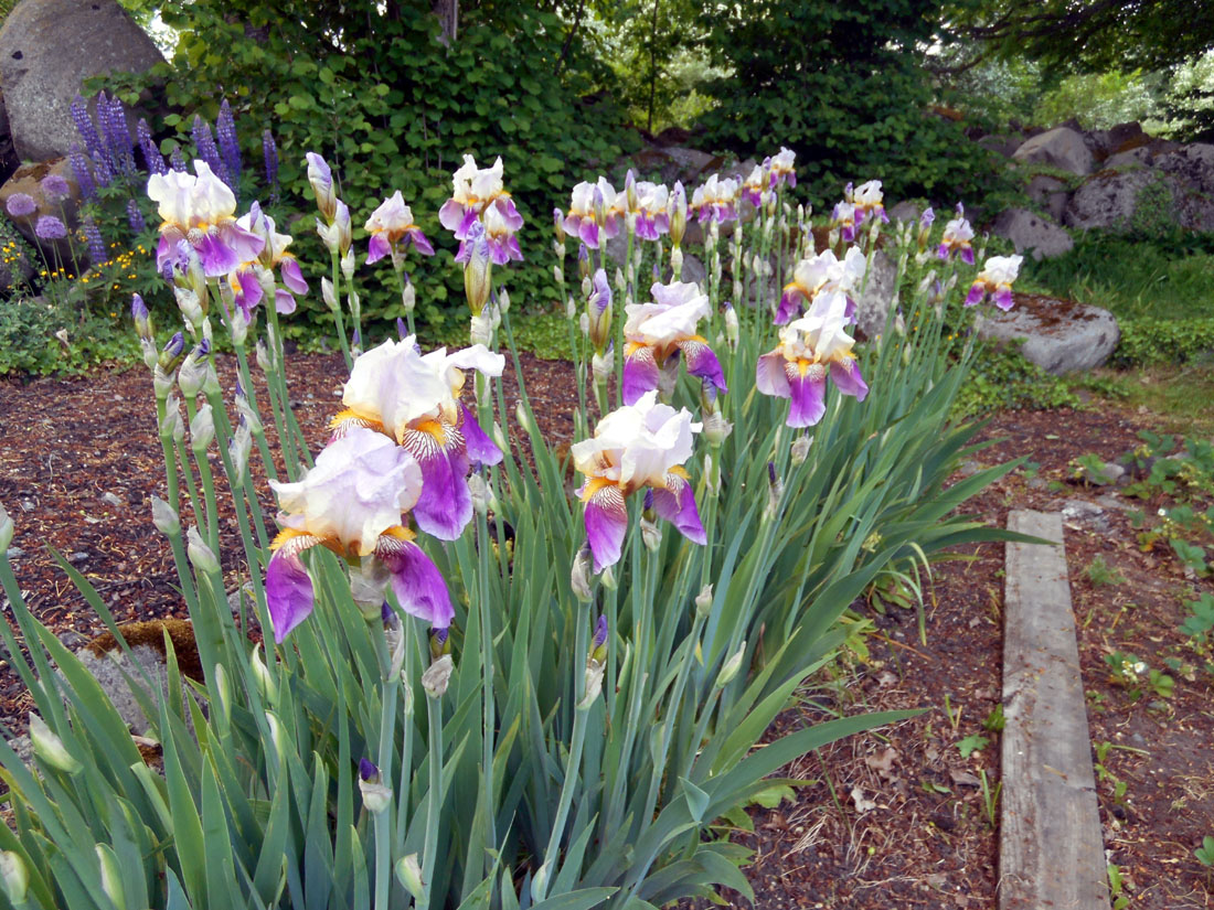 Iris nel mio giardino