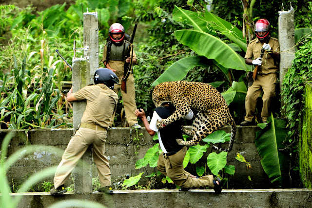 leopard attacks man  bu eating his face