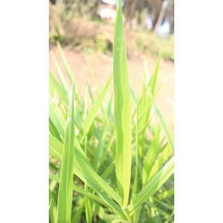gambar daun Brachiaria Humidicola