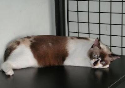 Cara Merawat Ras Kucing Malaysia