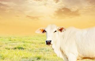 cow dream meaning, cow dream interpretation