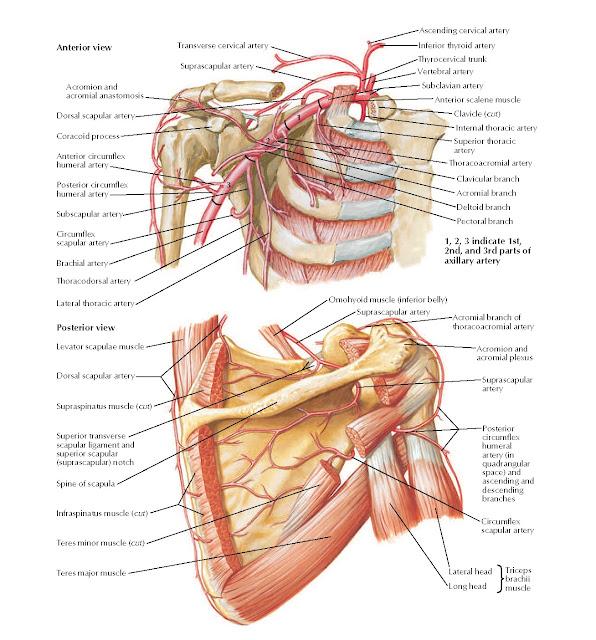 Axillary Artery and Anastomoses Around Scapula Anatomy