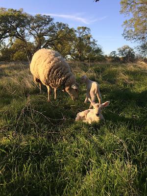 2016 Lambing Report