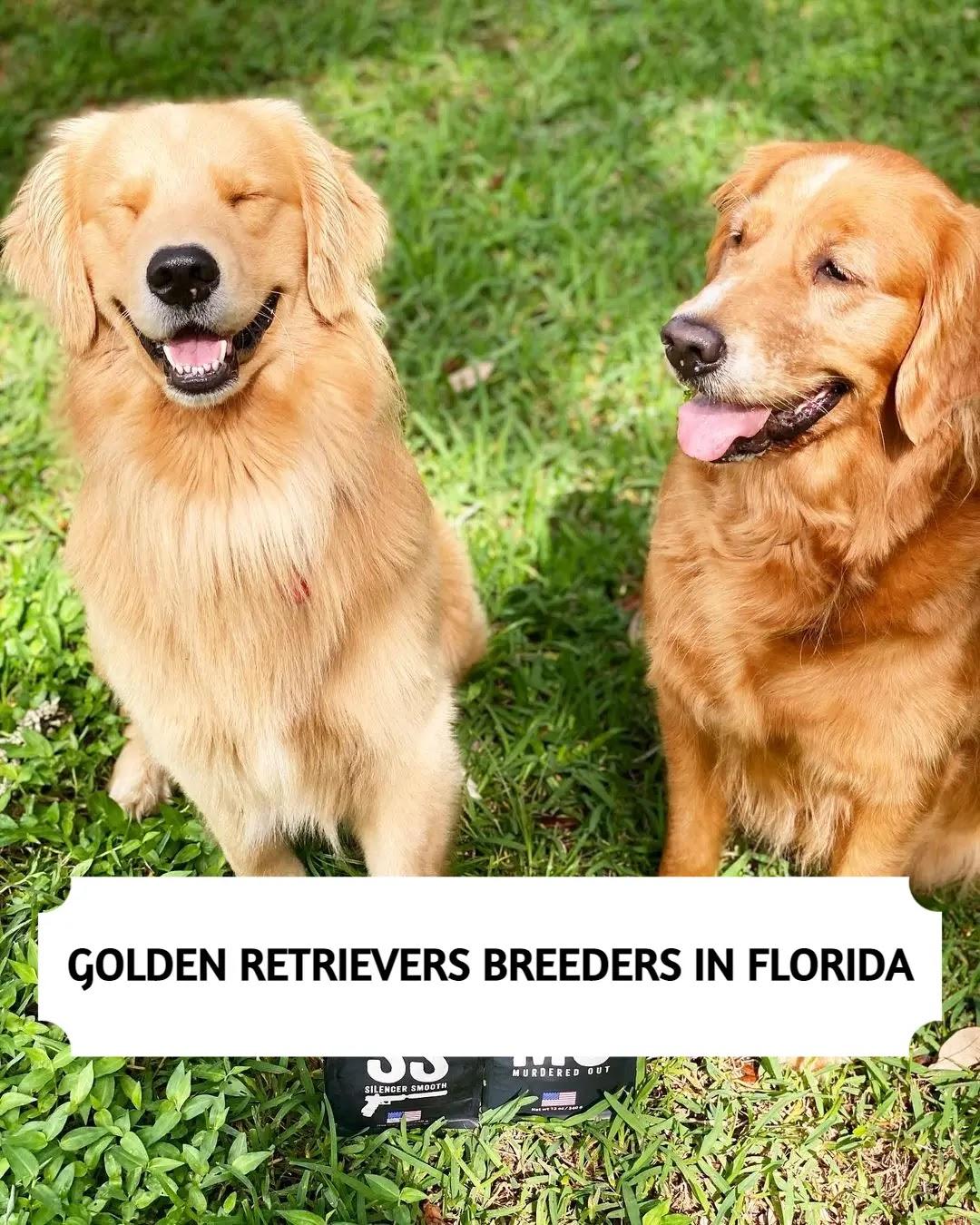 Best Golden Retriever Breeders in Florida