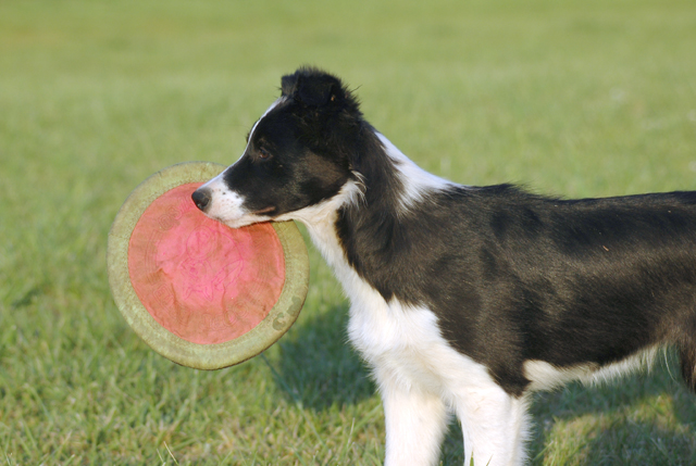 One SYllable Border Collie Names