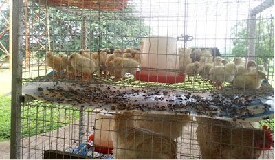 Nigerian University Develops First Indigenous Chickens