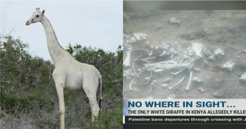 Zirafah Putih Dibunuh