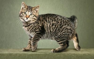 Sejarah Kucing Kurilian Bobtail