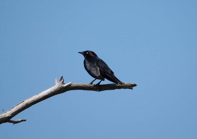 Brewers Blackbird - Grayling Forest, Michigan, USA