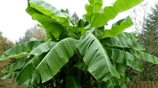 pohon pisang www.simplenews.me
