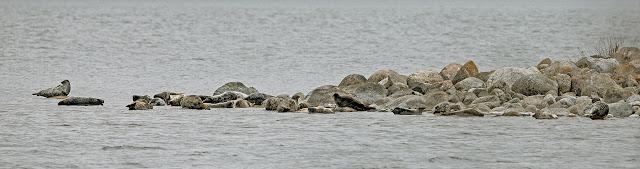Hylkeitä lepäilemässä kivikossa merellä