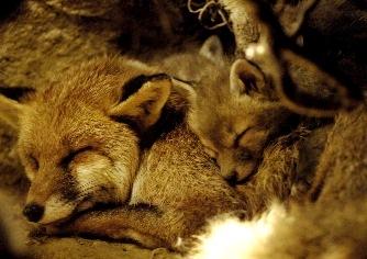 Fotod de zorros durmiendo