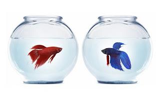 Cara Budidaya Ikan Cupang Untuk Pemula