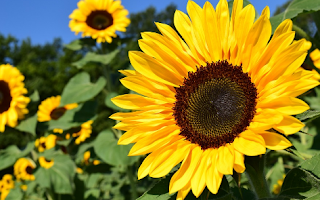 Essay on Sunflower in Hindi