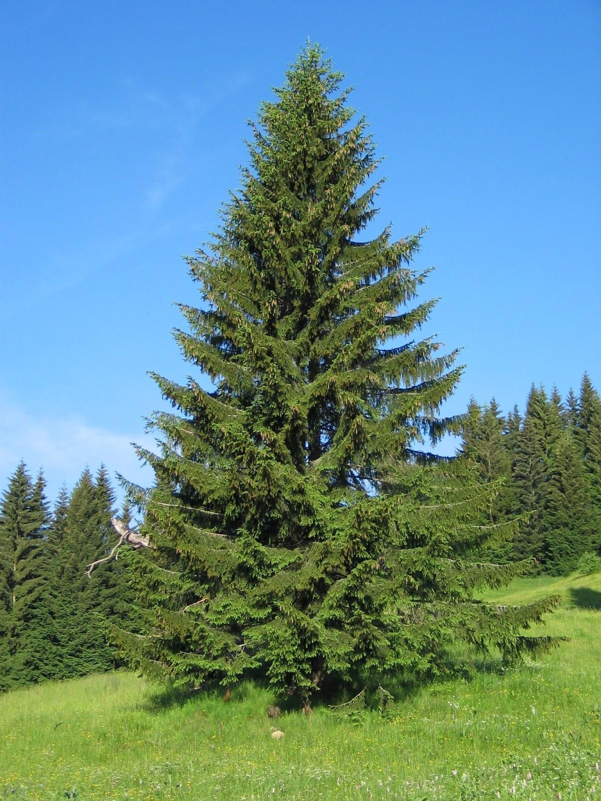 Picea abies norway spruce picea abies norway spruce picea abies