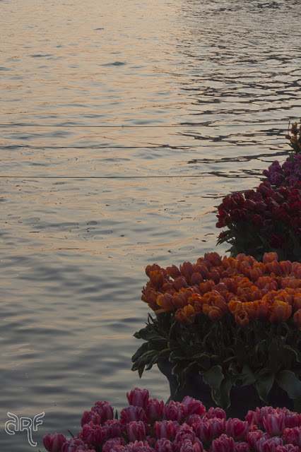 tulips and sunset